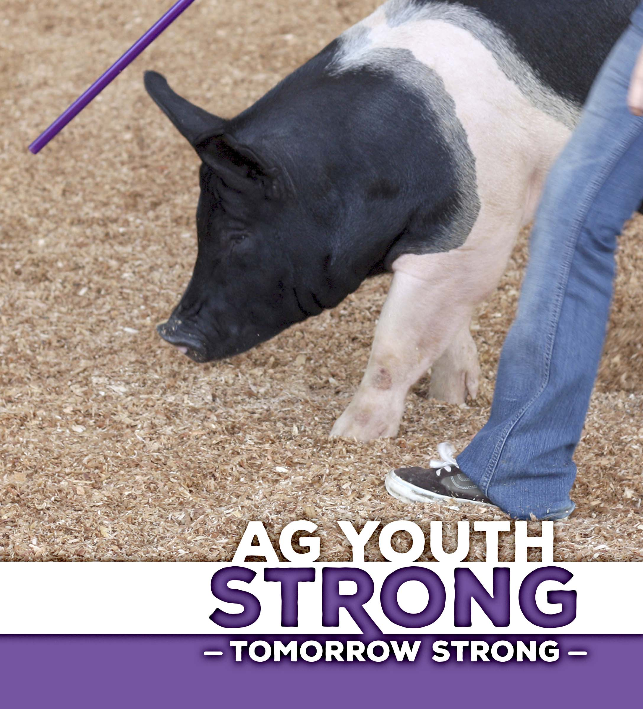 Pig being shown by an Ag Youth